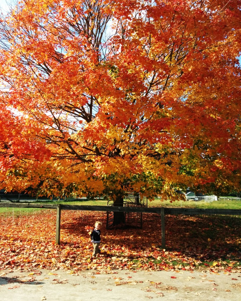 Mass Audobon was having some sort of sale on their memberships, so we joined and spend a Saturday morning at Drumlin Farm. Looks like we picked THE most perfect fall day to go.