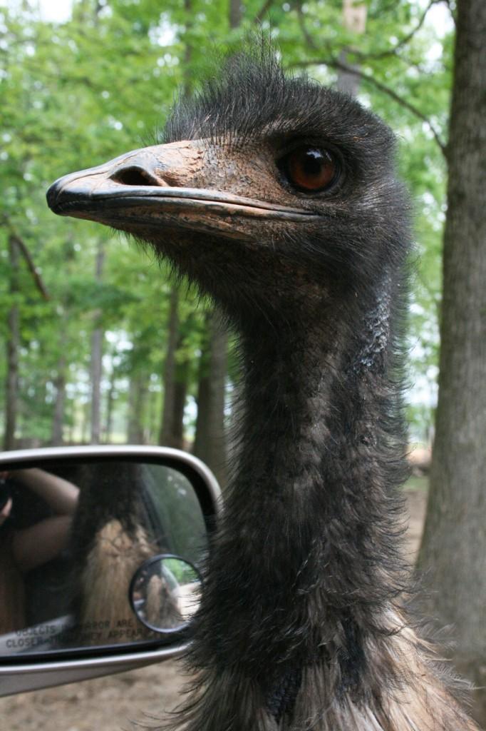 lazy 5 ranch emu north carolina